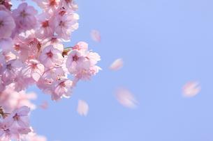 ヨウコウザクラの散る花びらの写真素材 [FYI04251842]