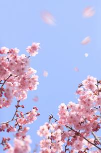 ヨウコウザクラの散る花びらの写真素材 [FYI04251853]