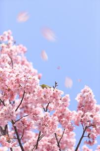 ヨウコウザクラの散る花びらの写真素材 [FYI04251856]
