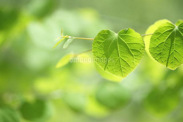 カツラの若葉の写真素材 [FYI04252526]