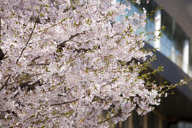 桜と学校の写真素材 [FYI04252931]