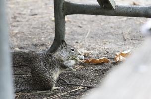 キンイロジリス(Golden-mantled ground squirrel)の写真素材 [FYI04254770]
