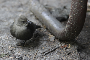 ヨセミテのキャンプ場に来た野鳥の写真素材 [FYI04254772]