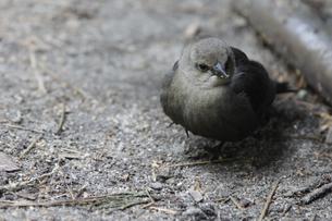 ヨセミテのキャンプ場に来た野鳥の写真素材 [FYI04254773]