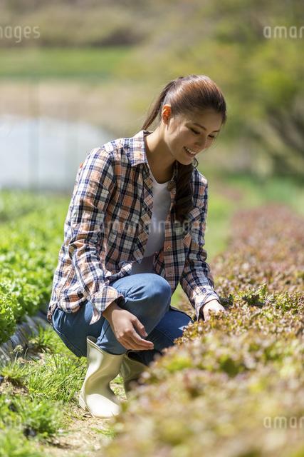 サニーレタスを収穫する女性の写真素材 [FYI04266824]