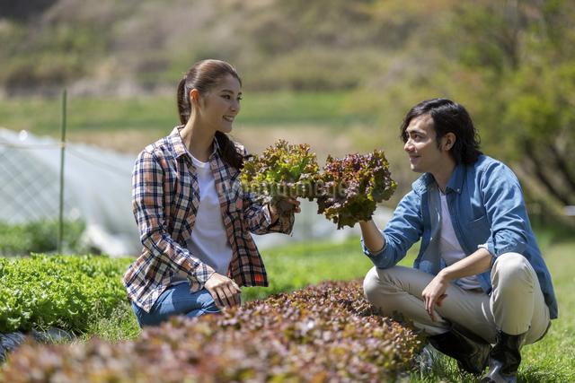 サニーレタスを収穫する若い男女の写真素材 [FYI04266838]