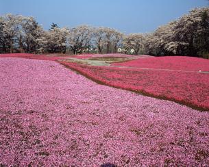 芝桜の庭の写真素材 [FYI04269963]