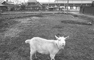 開業した武蔵野線沿線の町 吉川町にて ヤギの写真素材 [FYI04270385]
