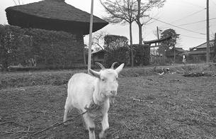 開業した武蔵野線沿線の町 吉川町にて ヤギの写真素材 [FYI04270386]