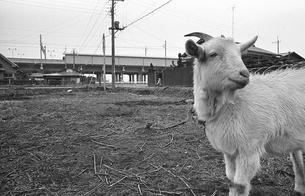 開業した武蔵野線沿線の町 吉川町にて ヤギの写真素材 [FYI04270388]