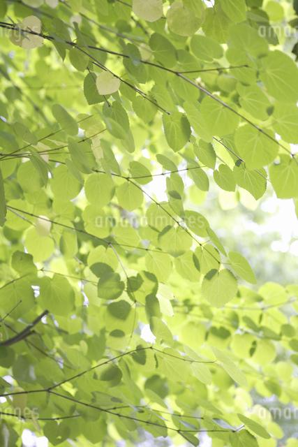 ナチュラルガーデン新緑のカツラの写真素材 [FYI04270744]