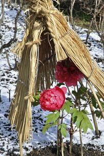 上野公園・上野東照宮 ボタン苑の写真素材 [FYI04272036]