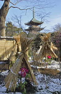 上野公園・上野東照宮 ボタン苑の写真素材 [FYI04272041]