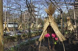 上野公園・上野東照宮 ボタン苑の写真素材 [FYI04272047]