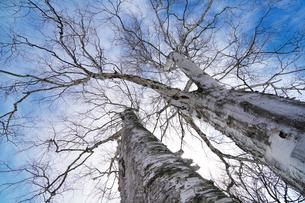 冬の白樺の写真素材 [FYI04273882]