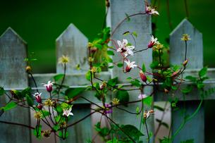 フェンスと花の写真素材 [FYI04273903]