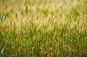 麦畑の写真素材 [FYI04273908]