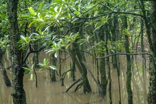 マングローブの森の写真素材 [FYI04273950]