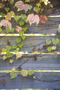 木の塀を彩るツタの写真素材 [FYI04274017]