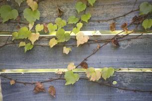 木の塀を彩るツタの写真素材 [FYI04274019]