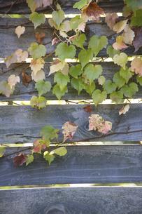 木の塀を彩るツタの写真素材 [FYI04274023]