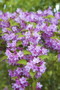 谷空木の花の写真素材 [FYI04274459]