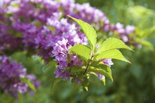 谷空木の花の写真素材 [FYI04274460]