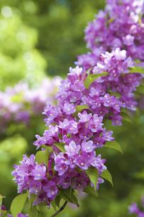 谷空木の花の写真素材 [FYI04274461]