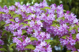 谷空木の花の写真素材 [FYI04274462]