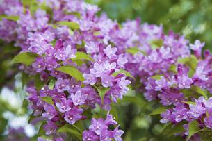 谷空木の花の写真素材 [FYI04274463]