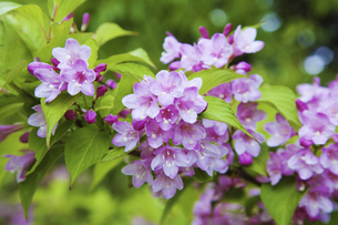 谷空木の花の写真素材 [FYI04274464]