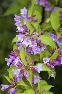 谷空木の花の写真素材 [FYI04274465]