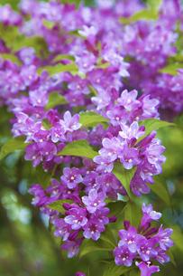 谷空木の花の写真素材 [FYI04274467]