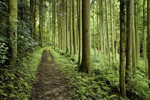 杉林の道の写真素材 [FYI04275356]