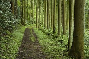 杉林の道の写真素材 [FYI04275372]