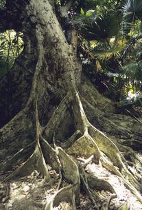 サキシマスオオノキの板根の写真素材 [FYI04275411]