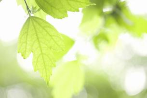 ムクゲの葉の写真素材 [FYI04276519]