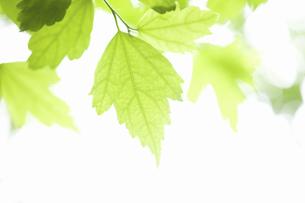 ムクゲの葉の写真素材 [FYI04276526]