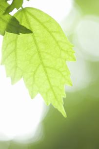 ムクゲの葉の写真素材 [FYI04276531]