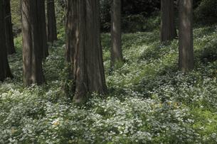 林間のオオアマナの写真素材 [FYI04277089]