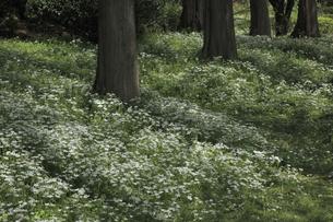 林間のオオアマナの写真素材 [FYI04277094]