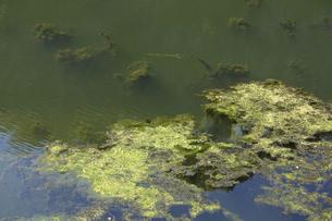異常に発生した池の水面の藻とゴミの写真素材 [FYI04277395]