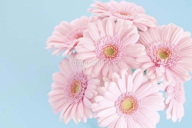 ピンク色のガーベラの写真素材 [FYI04278957]
