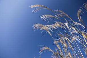 ススキと青空の写真素材 [FYI04279156]
