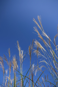 ススキと青空の写真素材 [FYI04279159]