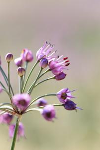らっきょの花の写真素材 [FYI04279519]