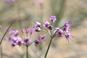 らっきょの花の写真素材 [FYI04279520]