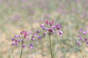 らっきょの花の写真素材 [FYI04279522]