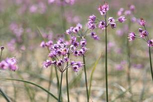 らっきょの花の写真素材 [FYI04279524]