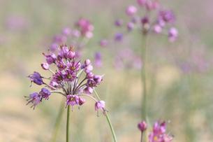 らっきょの花の写真素材 [FYI04279525]